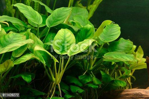 istock plants in aquarium 911426272