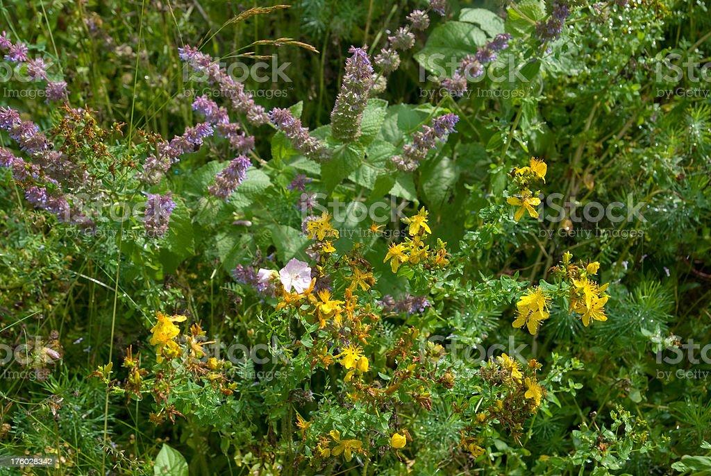 plants in biotope - Wildblumen royalty-free stock photo