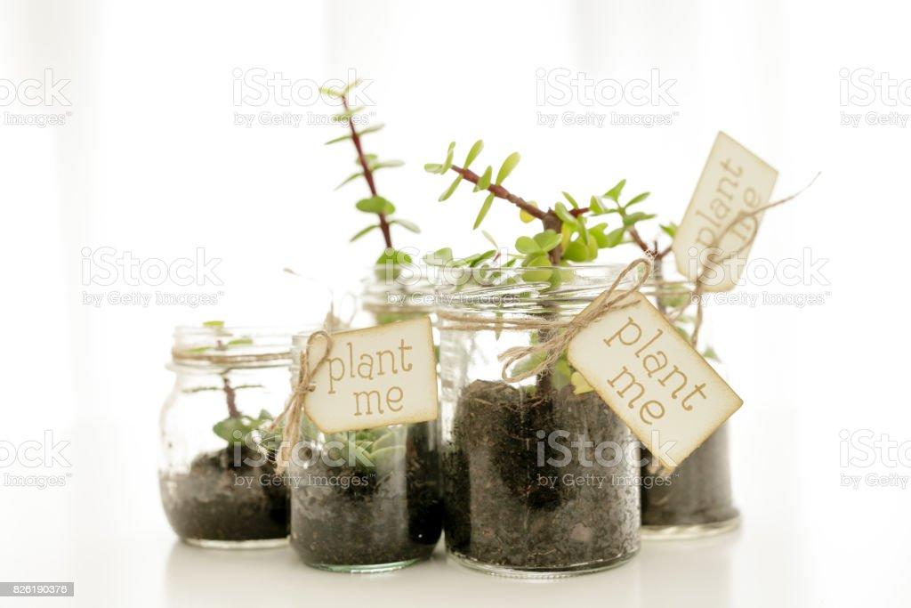 Plants in mason jars stock photo
