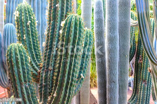 istock Plants in nature, in the natural environment. Cactus in the garden, park, under the open sky. Morocco 1147311998