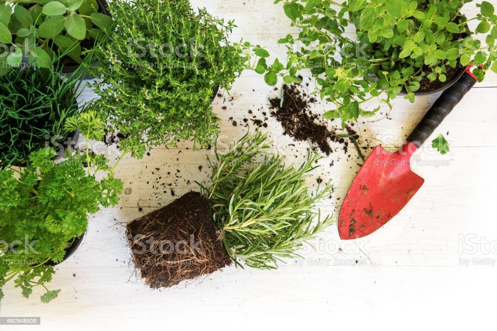 Pflanzen in Töpfen für den Kräutergarten und eine rote Schaufel auf weißem lackiertem Holz, Ecke Hintergrund mit Textfreiraum, Draufsicht von oben – Foto