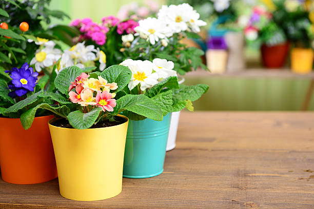 plants in pots plants in pots primula stock pictures, royalty-free photos & images