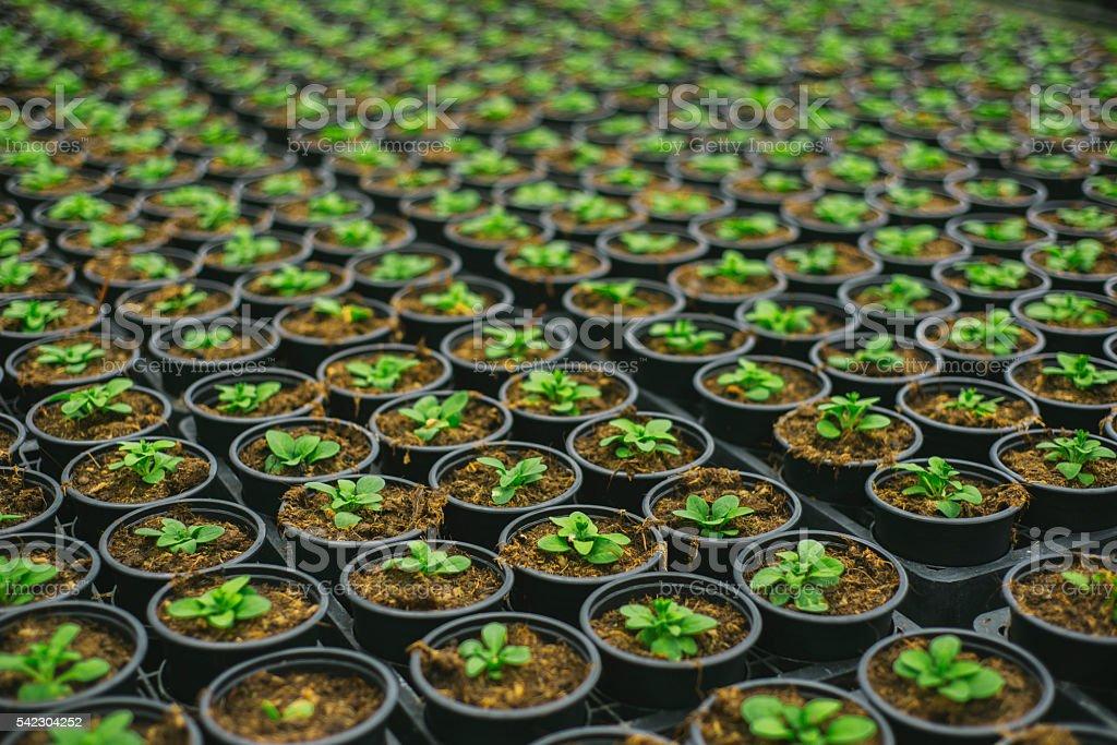 Plantas en filas - foto de stock
