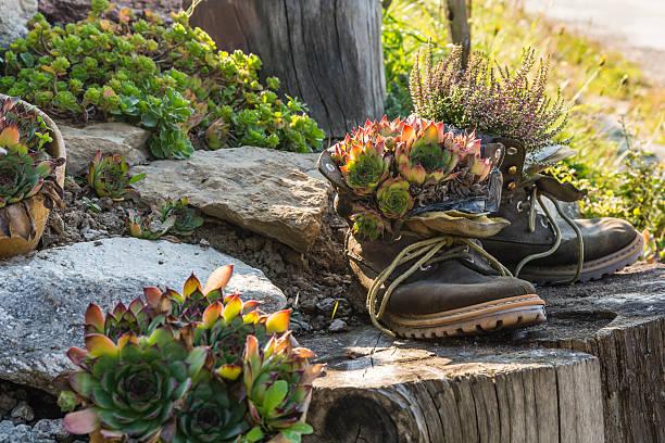 plants in shoes. - dachwurz stock-fotos und bilder