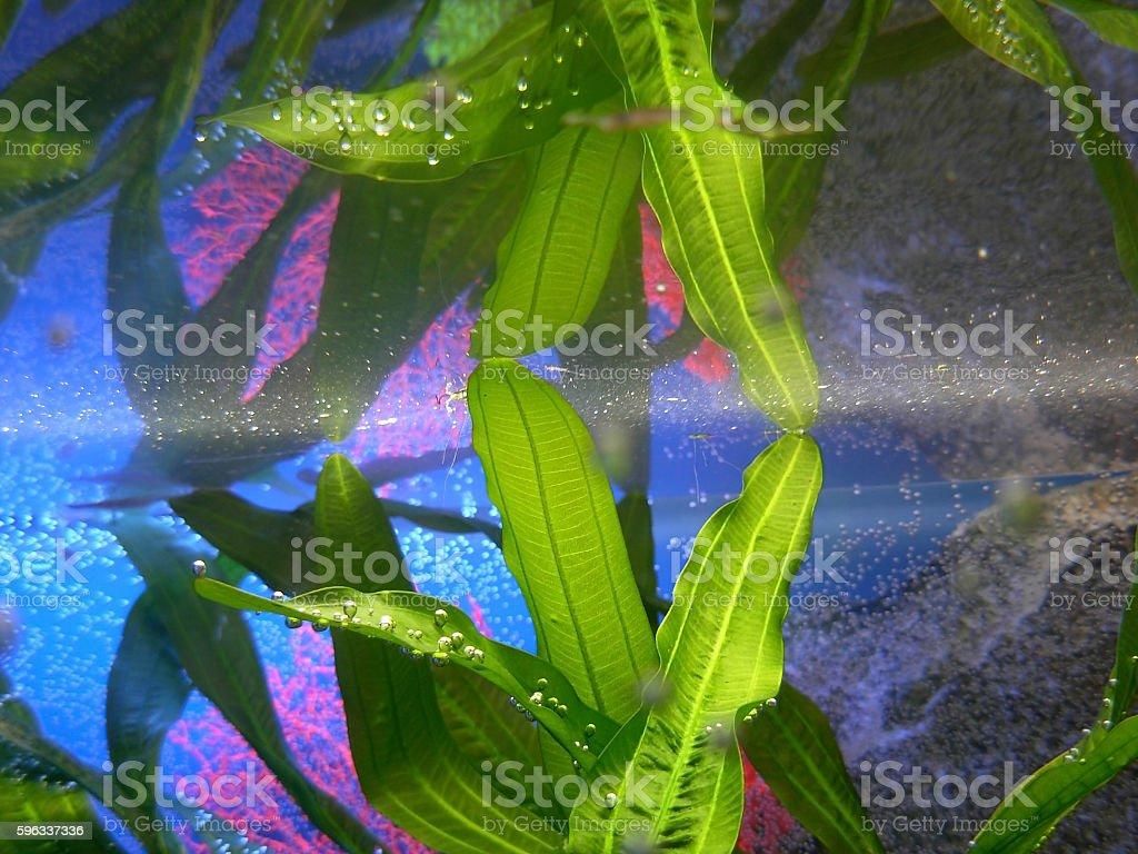 Plants in the aquarium royalty-free stock photo