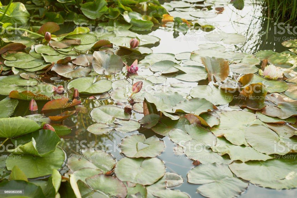 Photo Libre De Droit De Plantes Dans Le Bassin De Jardin