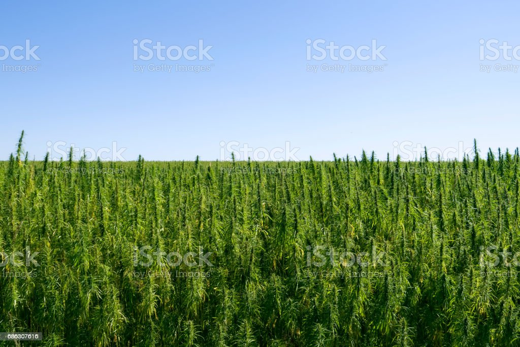 Plants: Industrial hemp stock photo