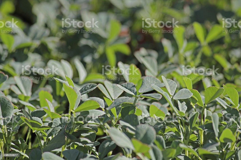 Plants of Fenugreek Foenum-graecum in a field stock photo