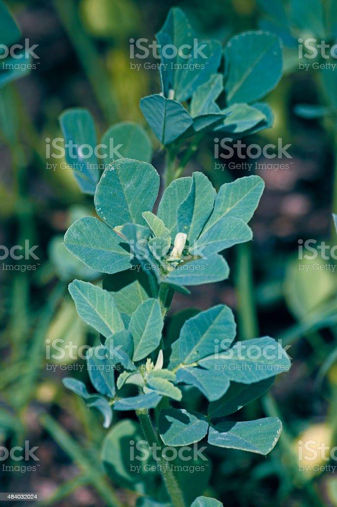Plants of Fenugreek Foenum-graecum stock photo