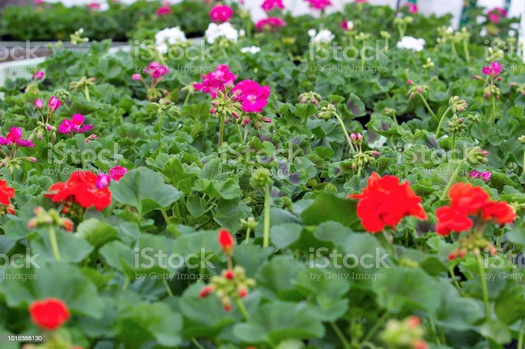 plants of geranium ready for sale stock photo