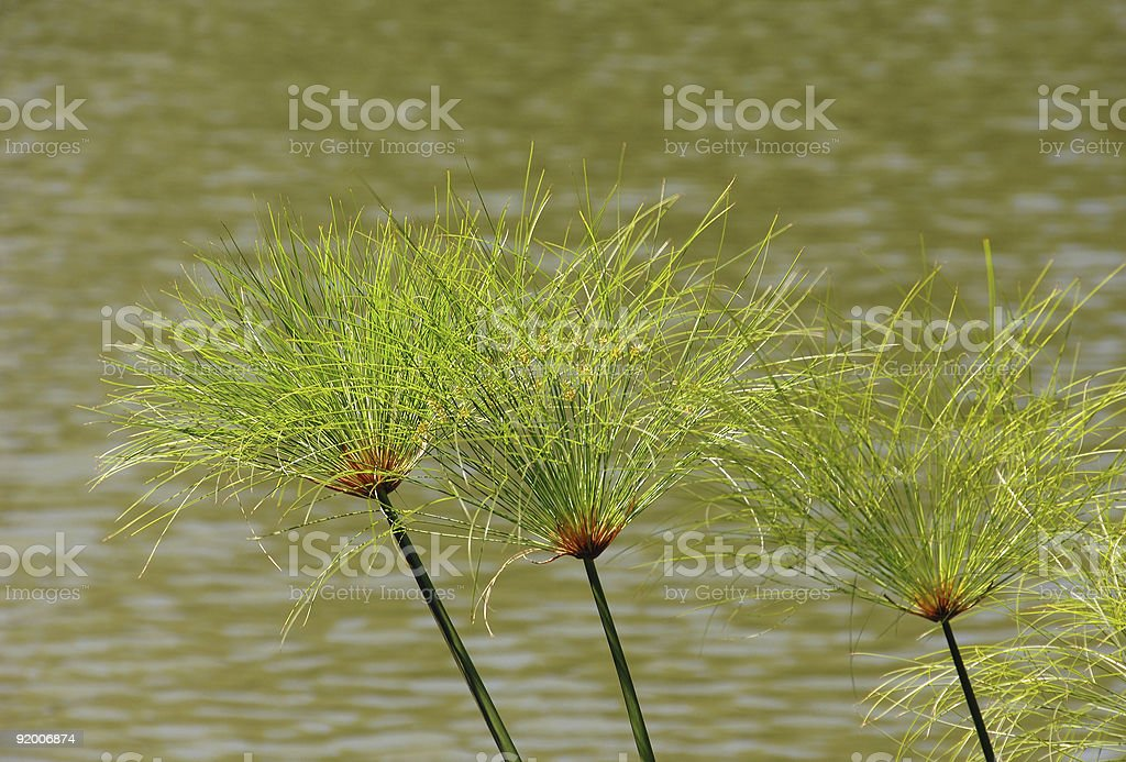 Plants of papyrus royalty-free stock photo