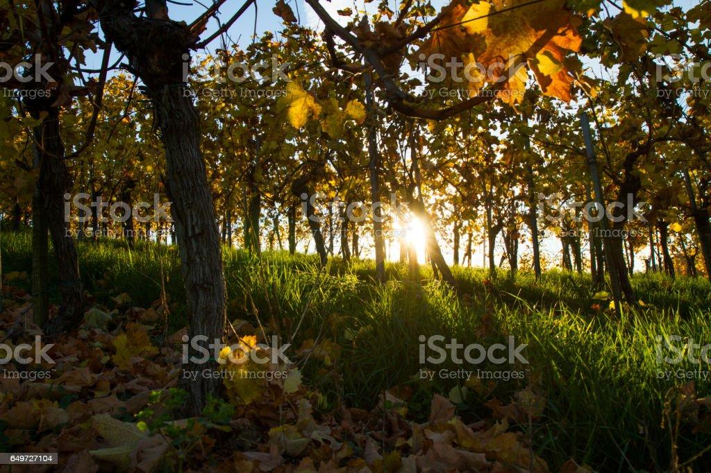 Plants on field during autumn at vineyard stock photo