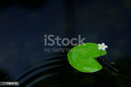 small lotus flower