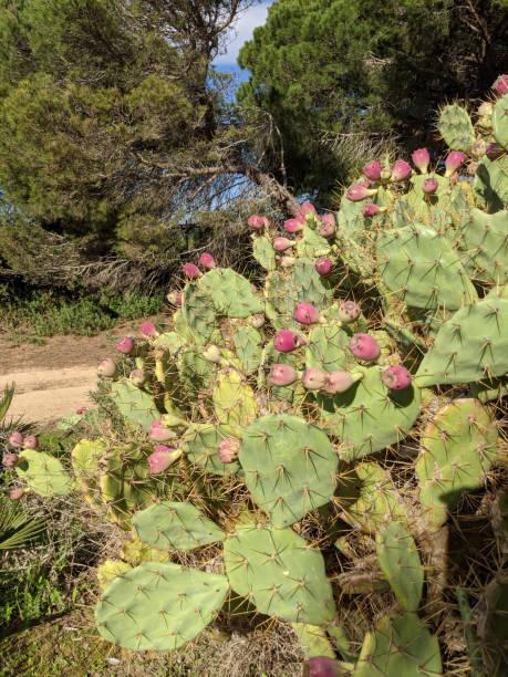 plantas - opuntia robusta fotografías e imágenes de stock