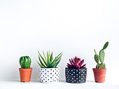 Plants pot. Green and red succulent plants in modern black and white with dots pattern colour painted concrete planters and cactus in plastic pots on shelf on white background.