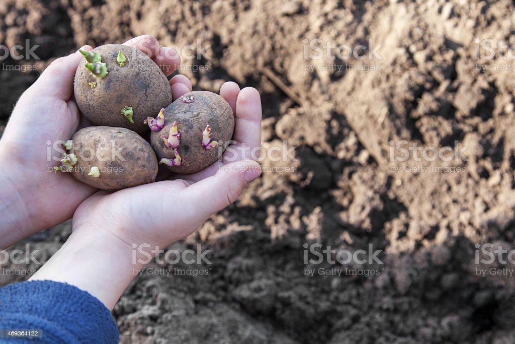 Plants potatoes for new season stock photo