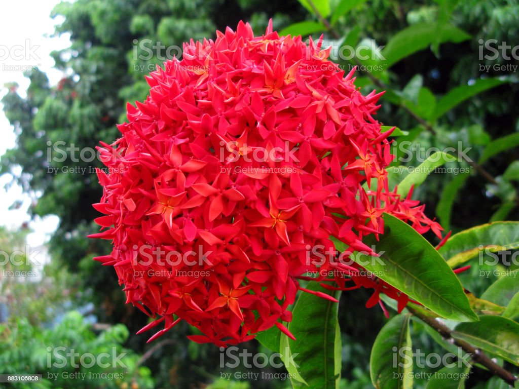 Plantes Boule Rouge En Forme De Fleurs A Lextremite Dune Branche Dun