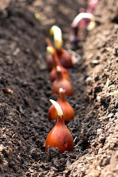 plantes semer - plante à bulbe photos et images de collection