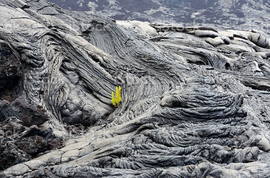 Plants sprouting in cooled lava cracks, Big Island, Hawaii stock photo