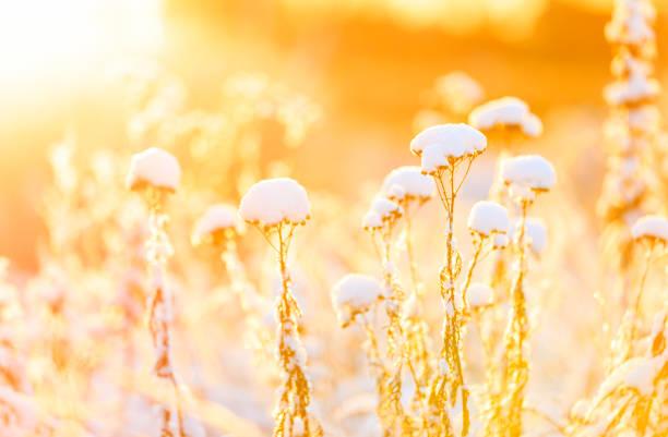 Plants under snow pillow at warm sunlight stock photo