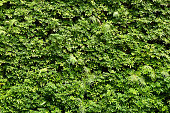 Plants wall or Green leaves wall texture background.