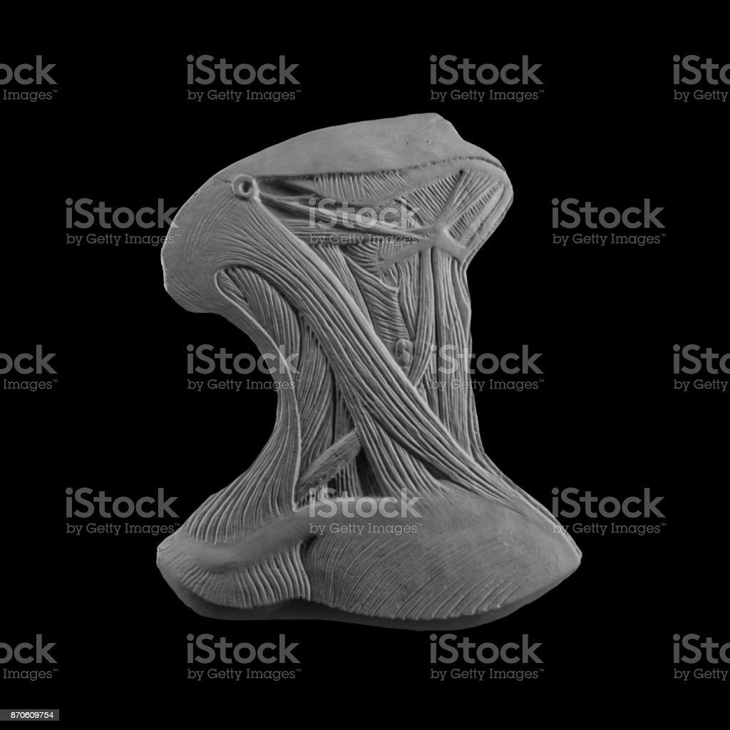 plaster mask anatomical muscle man stock photo