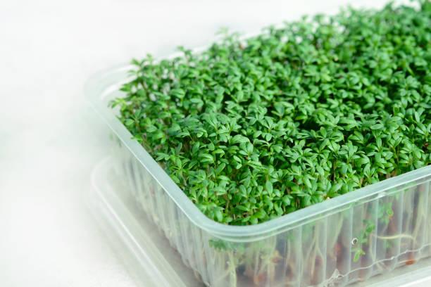 Plastic box with growing microgreens of watercress stock photo