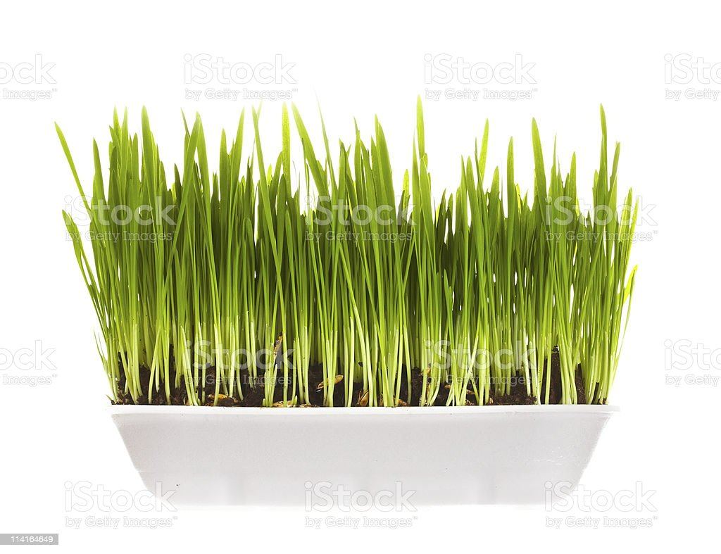 plastic container with young green sprouts stock photo