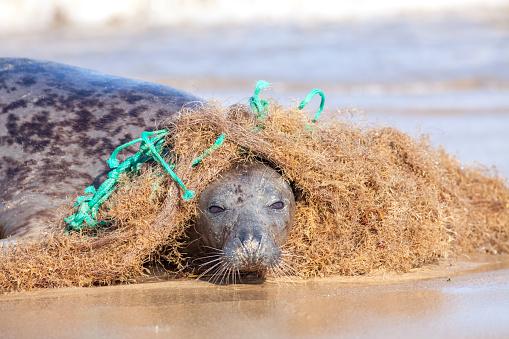 Plastic marine pollution. Seal caught in tangled nylon fishing net