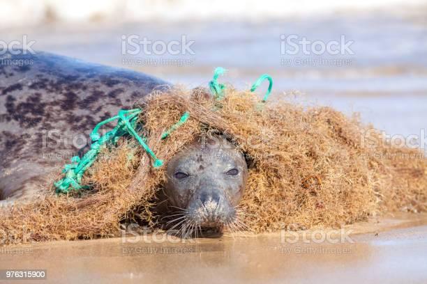 Plastic marine pollution seal caught in tangled nylon fishing net picture id976315900?b=1&k=6&m=976315900&s=612x612&h=gzbq2eab3do2mbkt9kz0botkumhx6uxsklrs0b8jyai=