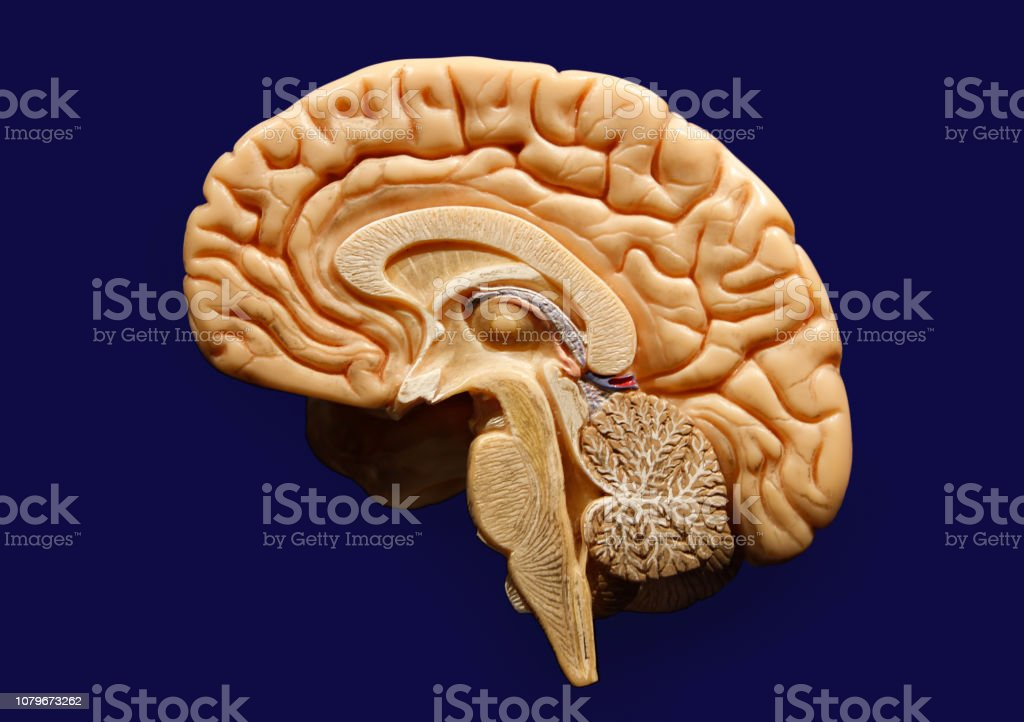 Plastic Model Of A Human Brain Isolated On Blue Background Note to editor: stock photo