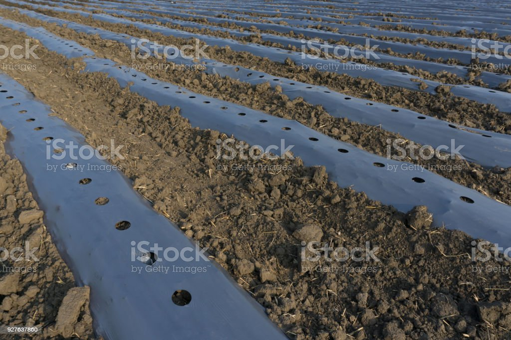 Plastic mulch is a product used, in a similar fashion to mulch, to suppress weeds and conserve water in crop production and landscaping. stock photo
