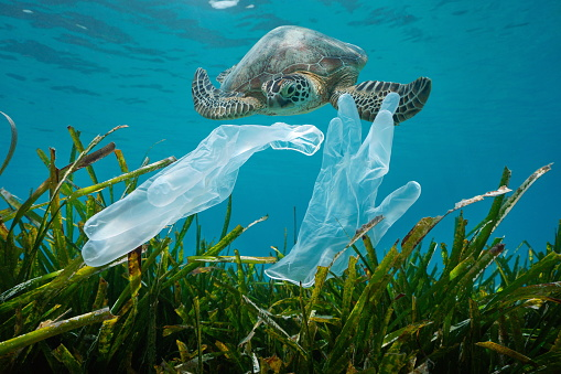Plastic waste pollution in the ocean, disposable gloves with seagrass and a sea turtle underwater