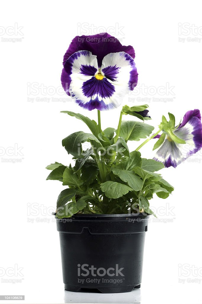 plastic pots with blue purple pansy isolated over white stock photo