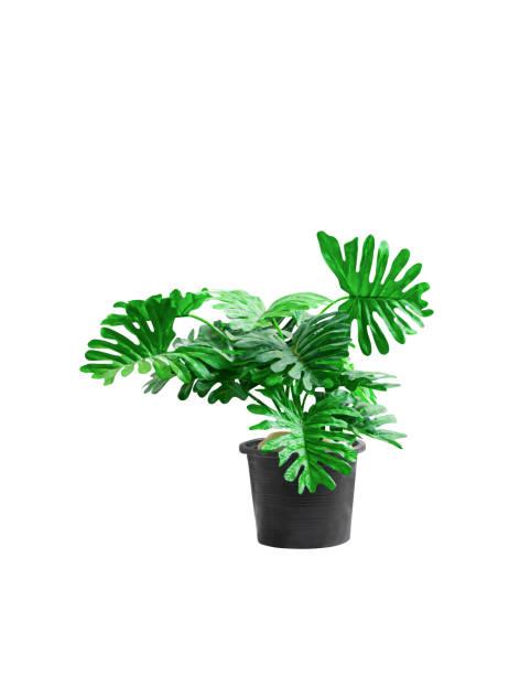 플라스틱 나무 philodendron xanadu 관상용 식물과 녹색 잎 들쭉날쭉한 가장자리 가장자리 흰색 배경과 가장자리 시멘트 바닥에 검은 색으로 아름다운 - 관상용 식물 뉴스 사진 이미지