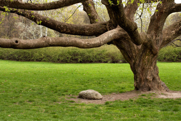 Platan (Platanus) and stone An old tree growing alone in a park with green grass and a rock below it sycamore tree stock pictures, royalty-free photos & images