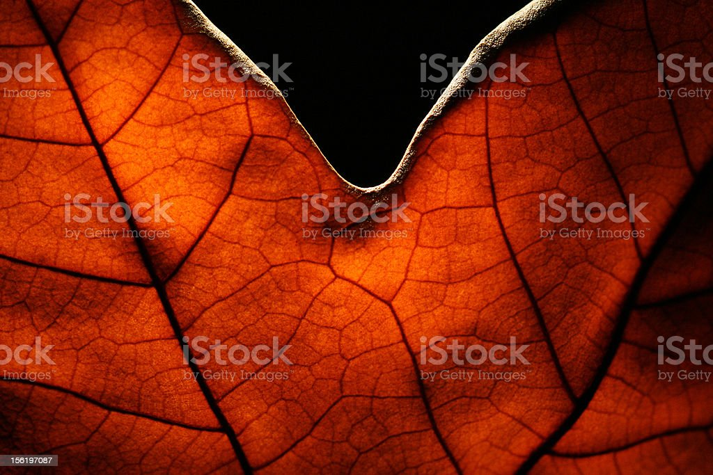 Platan leaf royalty-free stock photo