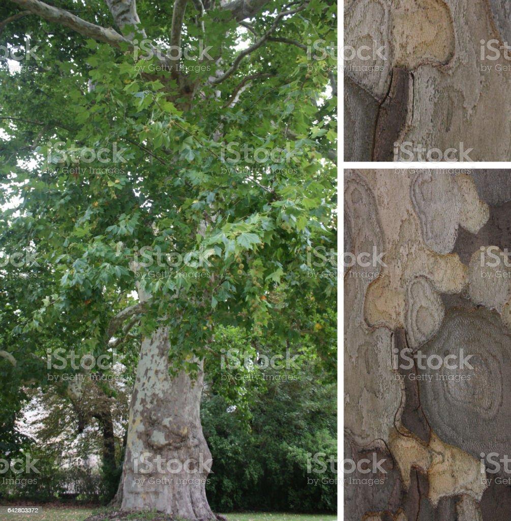 platane commun bark texture – photos et plus d'images de arbre à