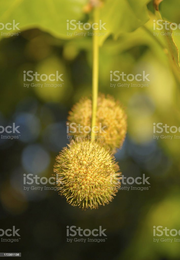 Platanus fruit royalty-free stock photo