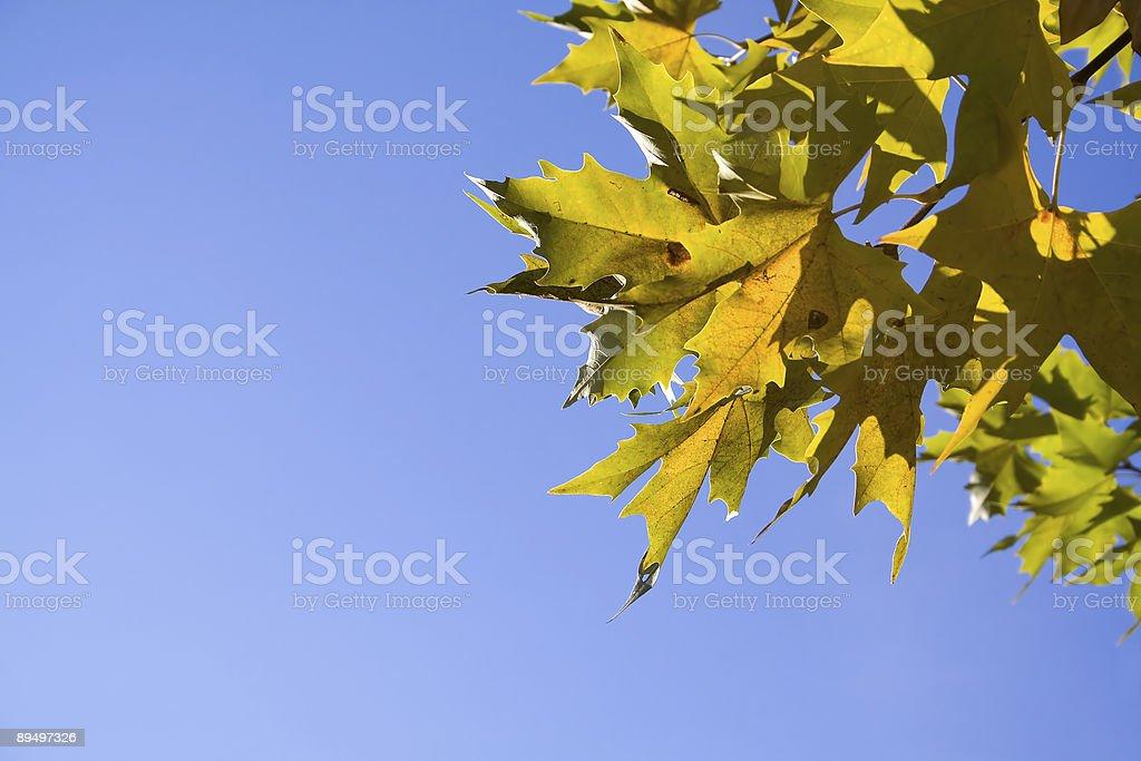 platanus albero foglie foto stock royalty-free