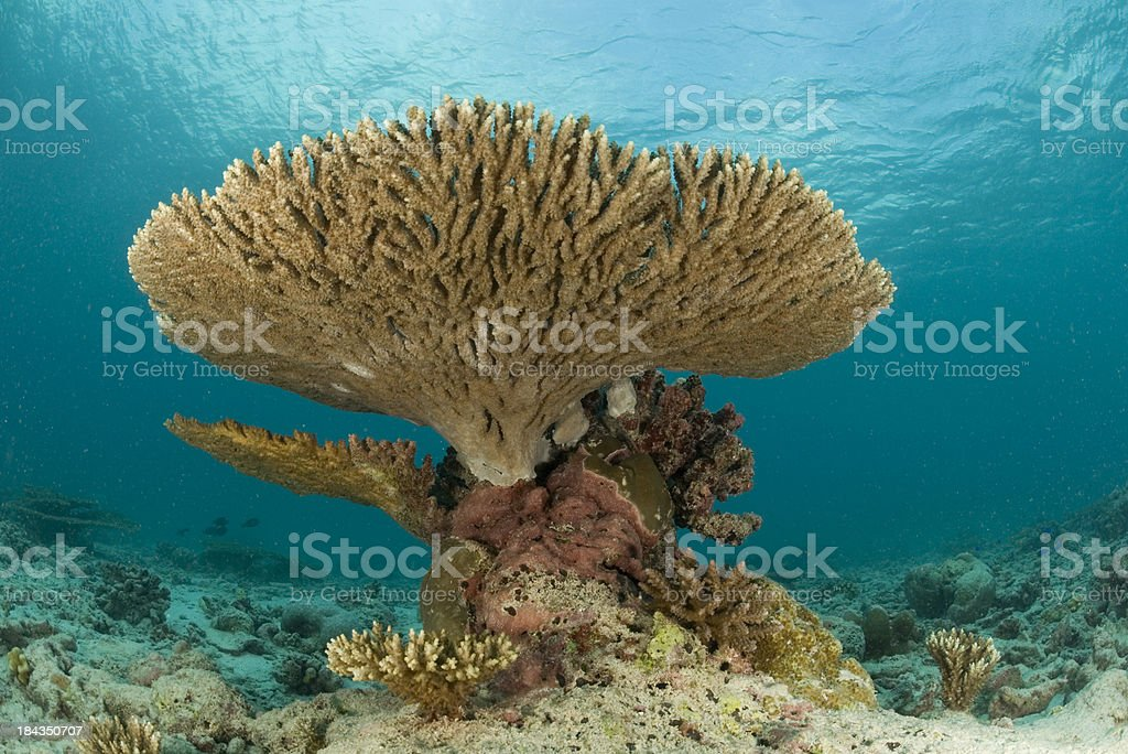 plate coral stock photo