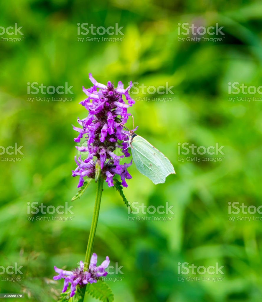 Plate of lemons on a bleeding flower ( Gonepteryx rhamni) stock photo