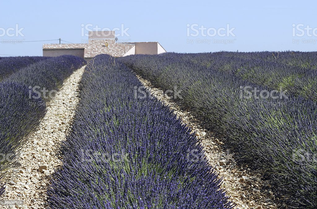 Altopiano di Valensole (Provenza): Campo di lavanda in estate foto stock royalty-free