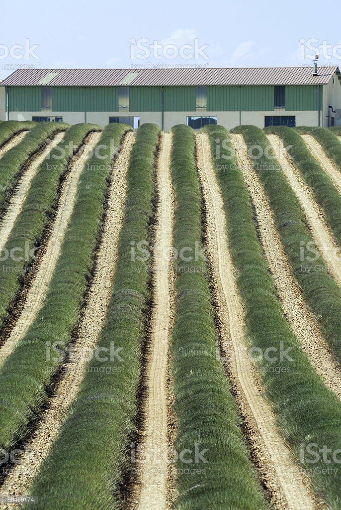 Altopiano di Valensole (Provenza), un campo di lavanda in estate foto stock royalty-free