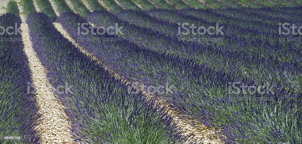 Plateau de Valensole (Provence): field of lavender at summer royalty-free stock photo