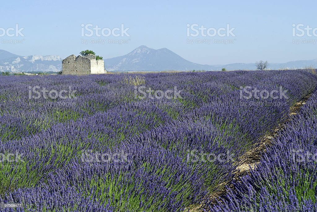 Plateau de Valensole (Provence): field of lavender royalty-free stock photo