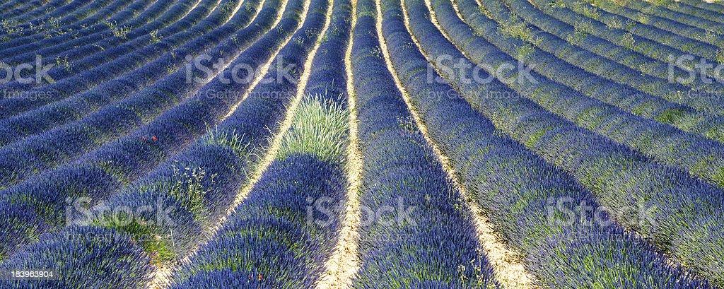 Plateau de Valensole (Provence), lavender royalty-free stock photo