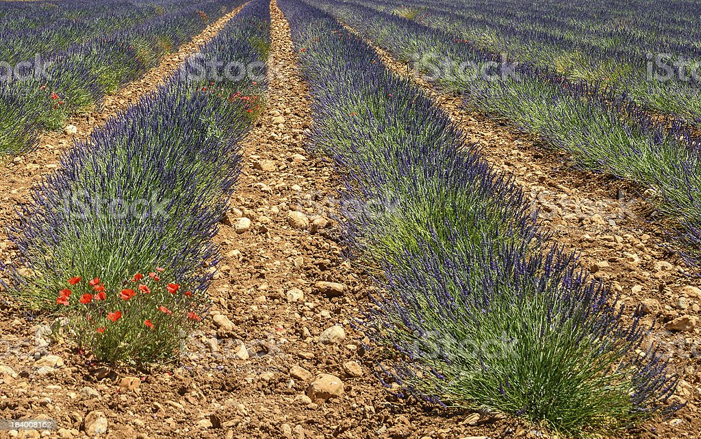 Plateau de Valensole (Provence), lavender royalty-free stock photo