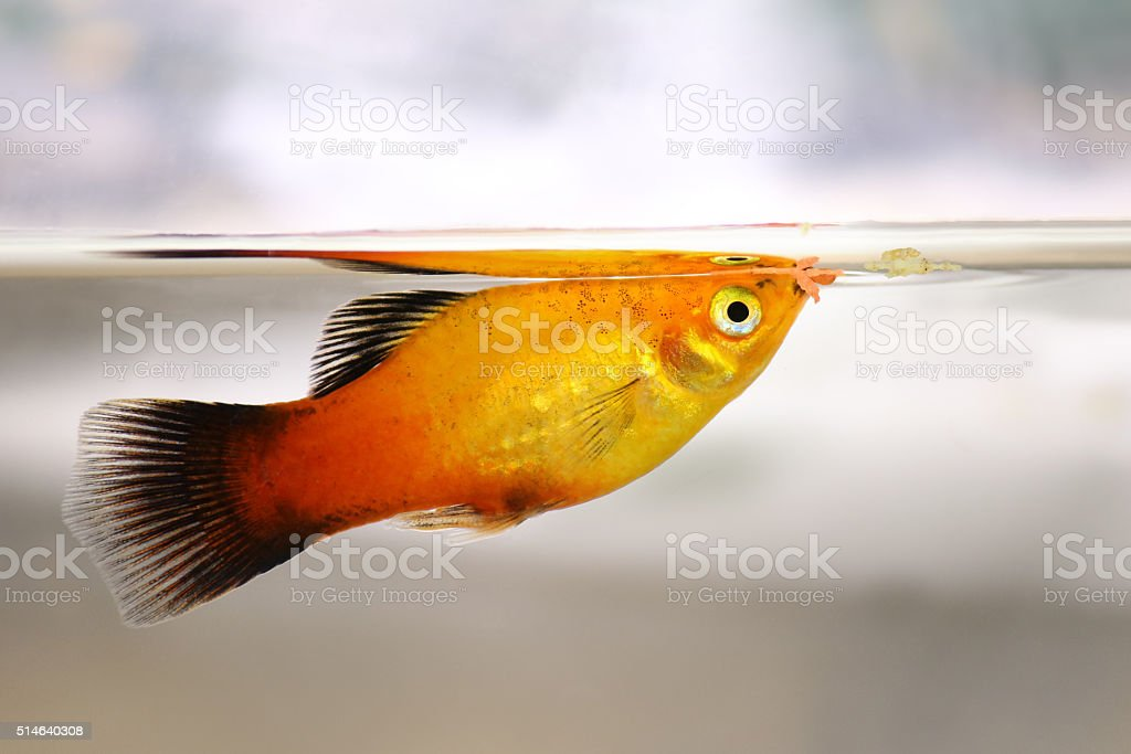 Platy eating fish flake food from service feeding aquarium fish stock photo