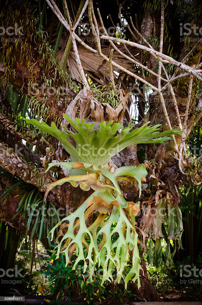 Platycerium on the tree stock photo